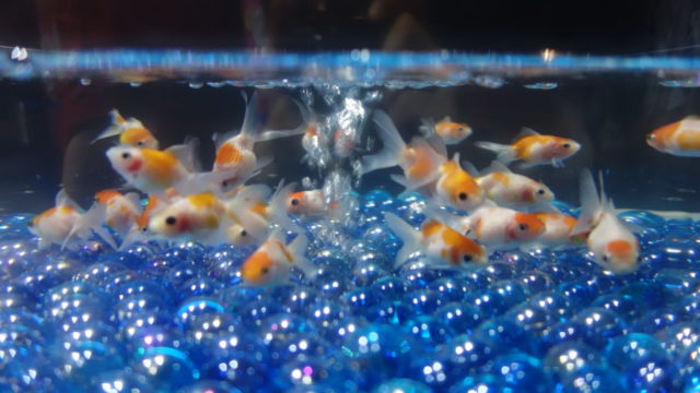 アクアリウム金魚1