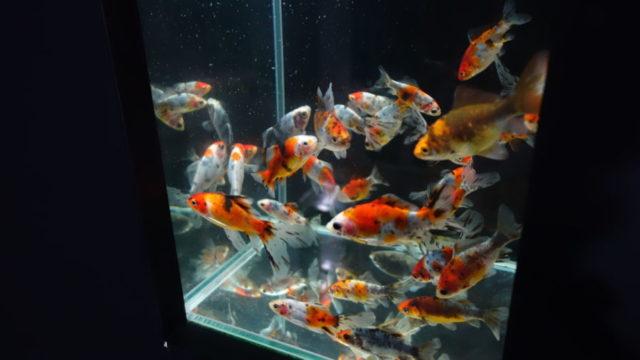 アクアリウム金魚2