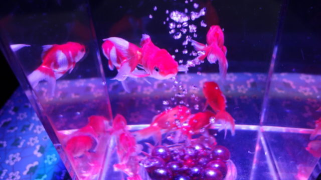 アクアリウム金魚3