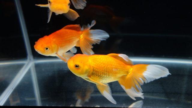 アクアリウム金魚4